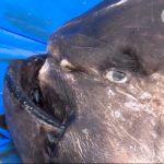 20180224貴重なサメの解剖世界初の発見も (6)