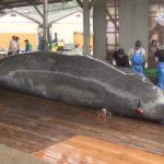 20180606ツチクジラ初水揚げ (3)
