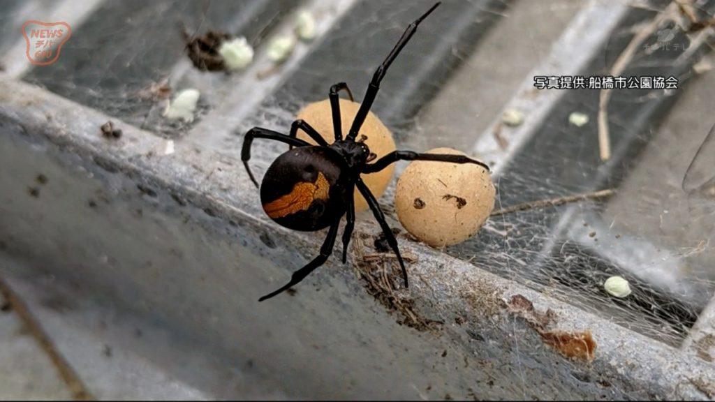 セアカゴケグモの画像 p1_6