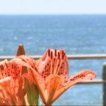 20210724スカシユリが見ごろ 千葉県いすみ市の太東海浜植物群落 (2)